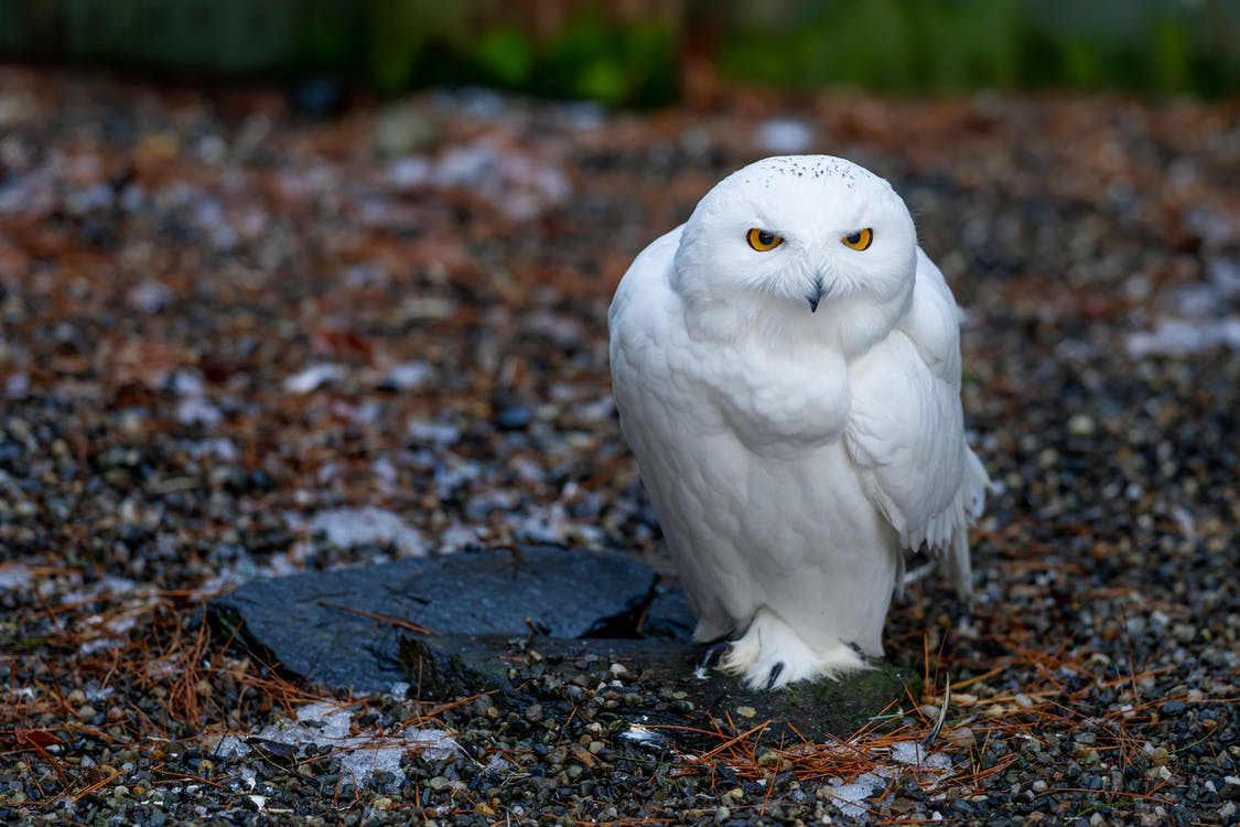 From above of attentive snowy owl with small beak sitting on dry terrain in zoo