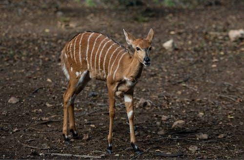 Immagine gratuita di animale, animale selvatico, animali allo stato selvatico, antilope