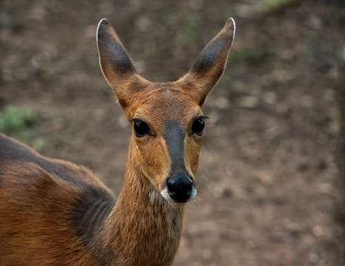 Immagine gratuita di animale, antilope, avviso, barbaro