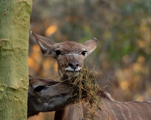 Immagine gratuita di antilope, feedimg, gioco, kudu