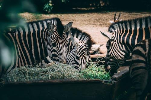 Free stock photo of zebra, zoo