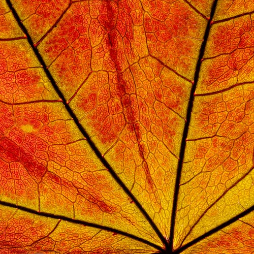 Macro of colorful red leaf texture