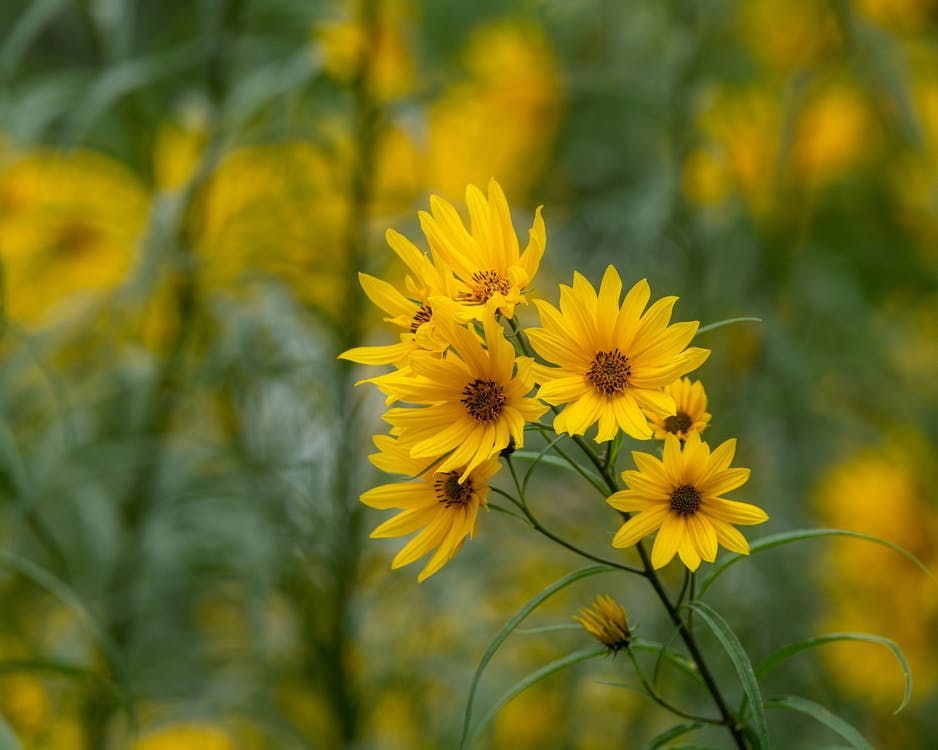 Bright yellow topinambur flowers on thin stem growing on lush meadow in summer park