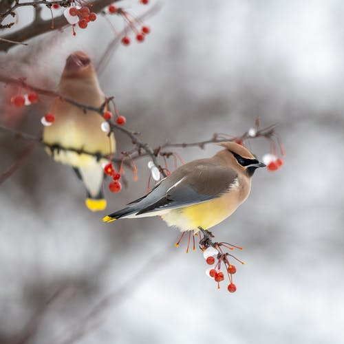 Beautiful bright waxwing birds sitting together on leafless tree branch with red berries on cold winter day