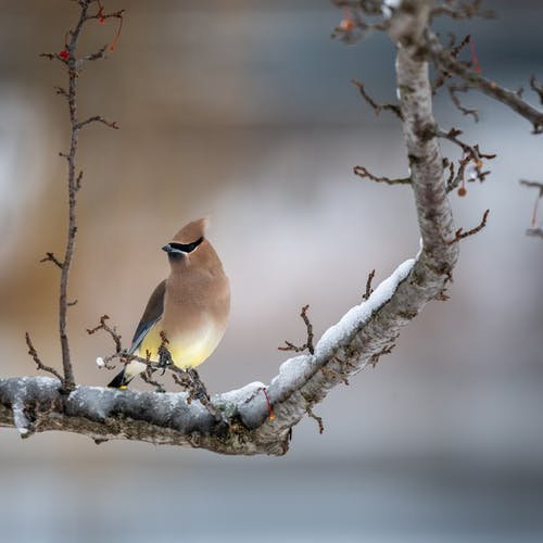 Attentive waxwing bird sitting on leafless frozen tree