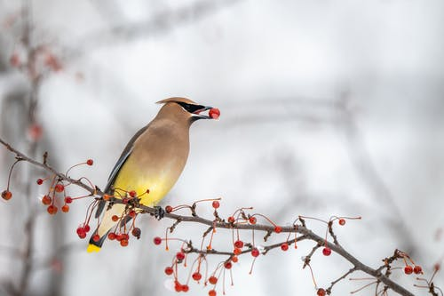Beautiful waxwing bird with bright multicolored feathers sitting on leafless tree branch with red berry in beak in winter forest