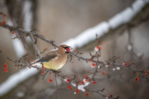 Small waxwing bird with red berry in beak on tree