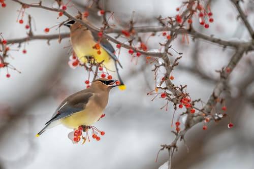 Beautiful waxwing birds resting on frozen tree branch with red berries in beak in cold winter forest
