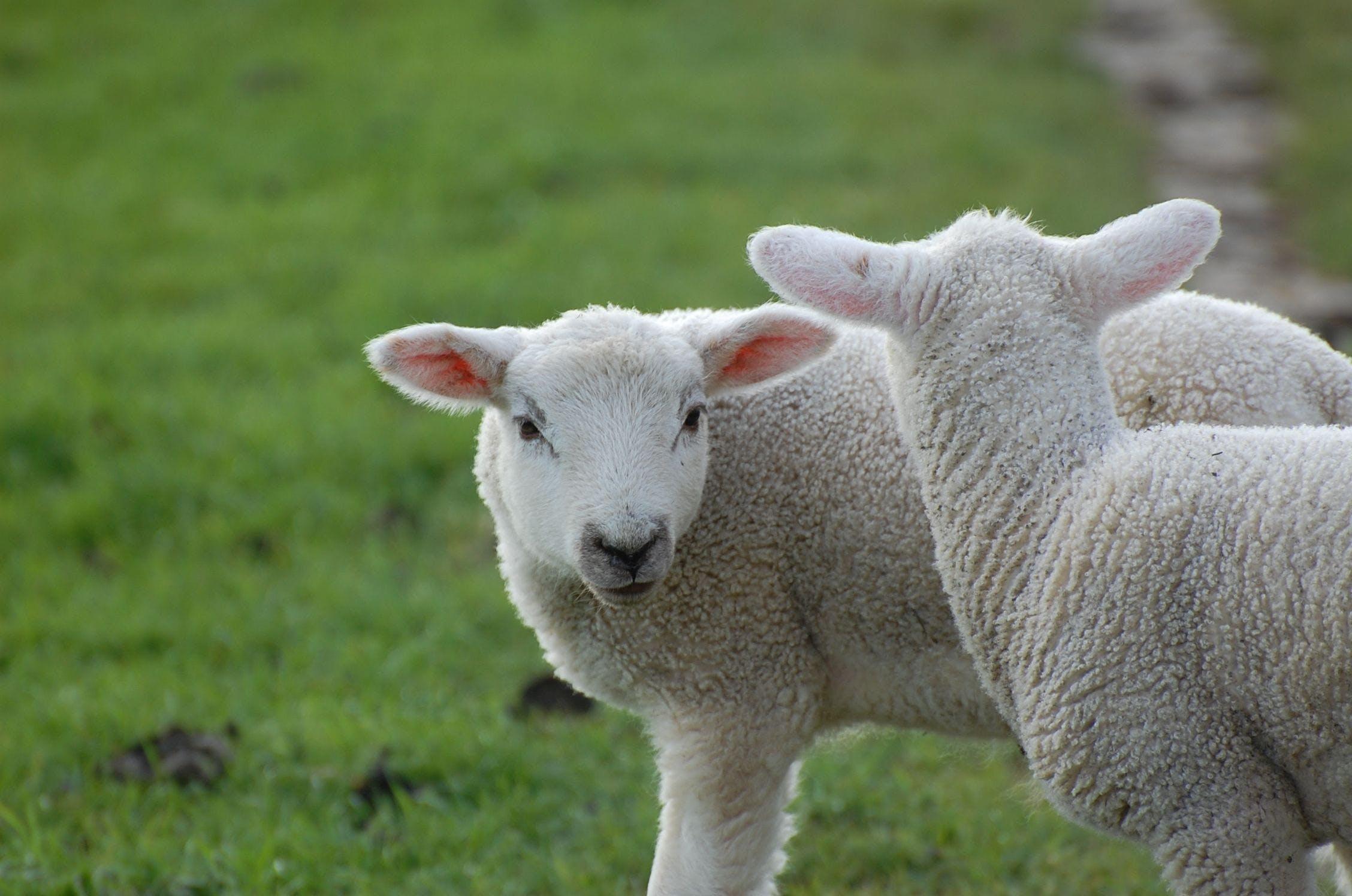 Free stock photo of sweet, lamb, animal child, passover