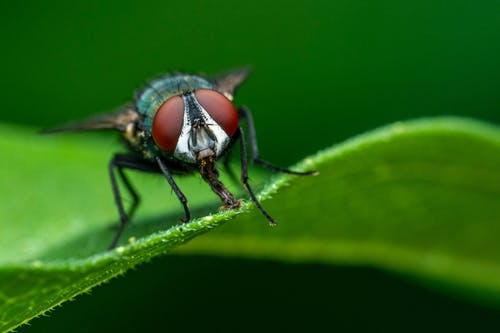 Insect with red compound eyes