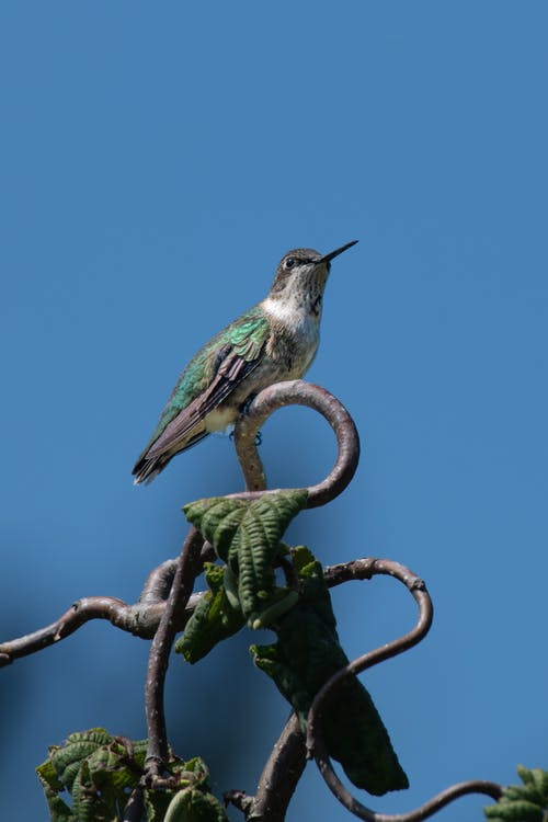 White chested emerald on twig against sky