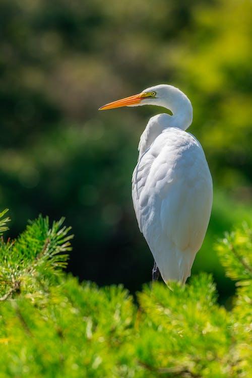 Big white heron with yellow beak