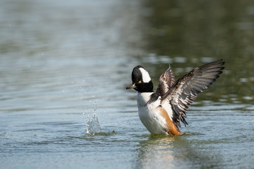 Single duck flapping wings on pond
