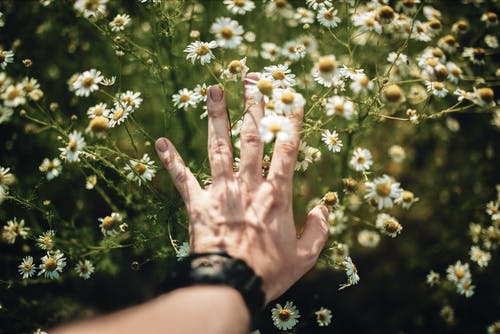 From above of crop anonymous person touching delicate blooming chamomile flowers growing in meadow in summer day