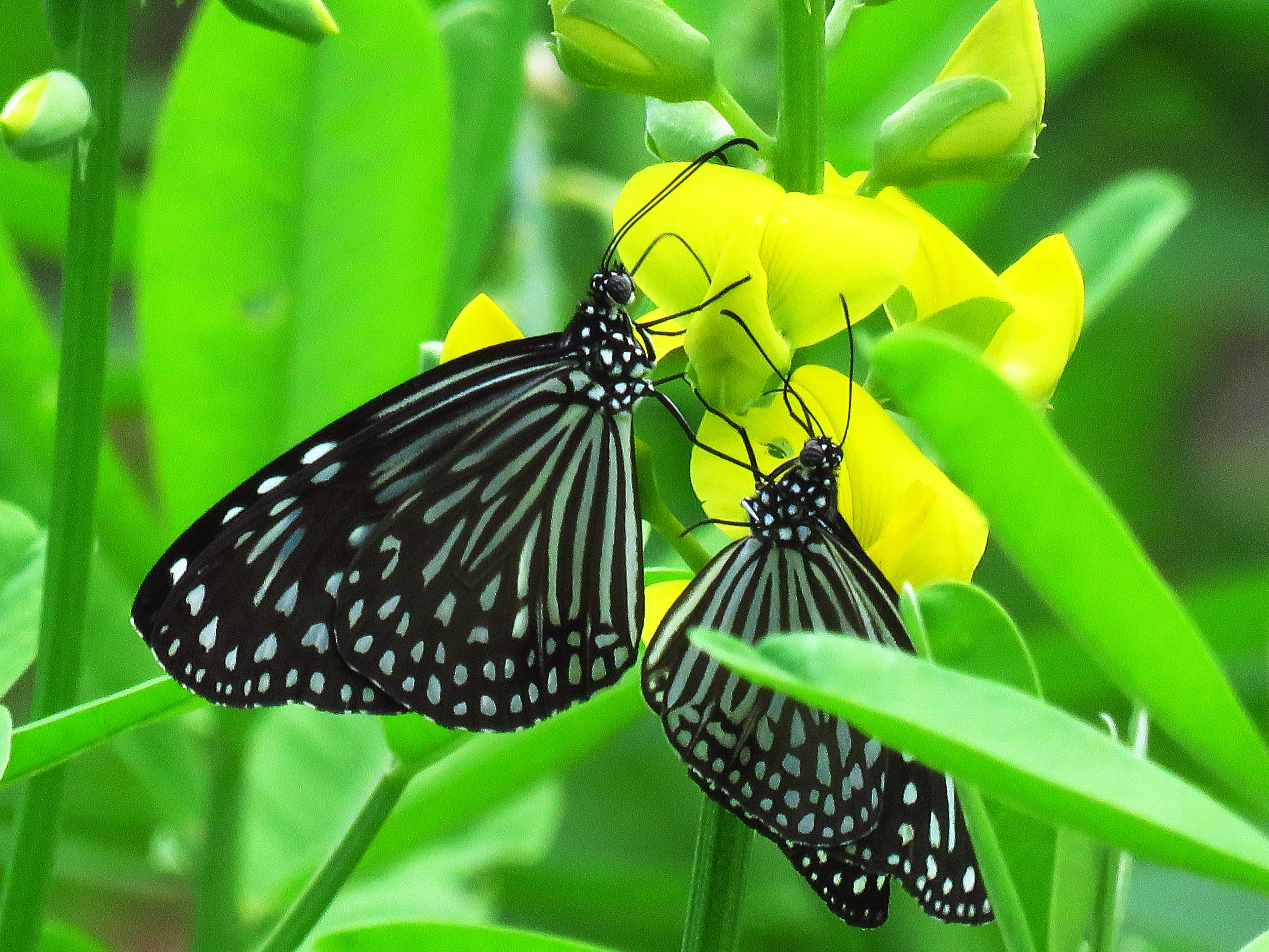 Two Black-and-gray Butterflies Perching on Yellow Flower