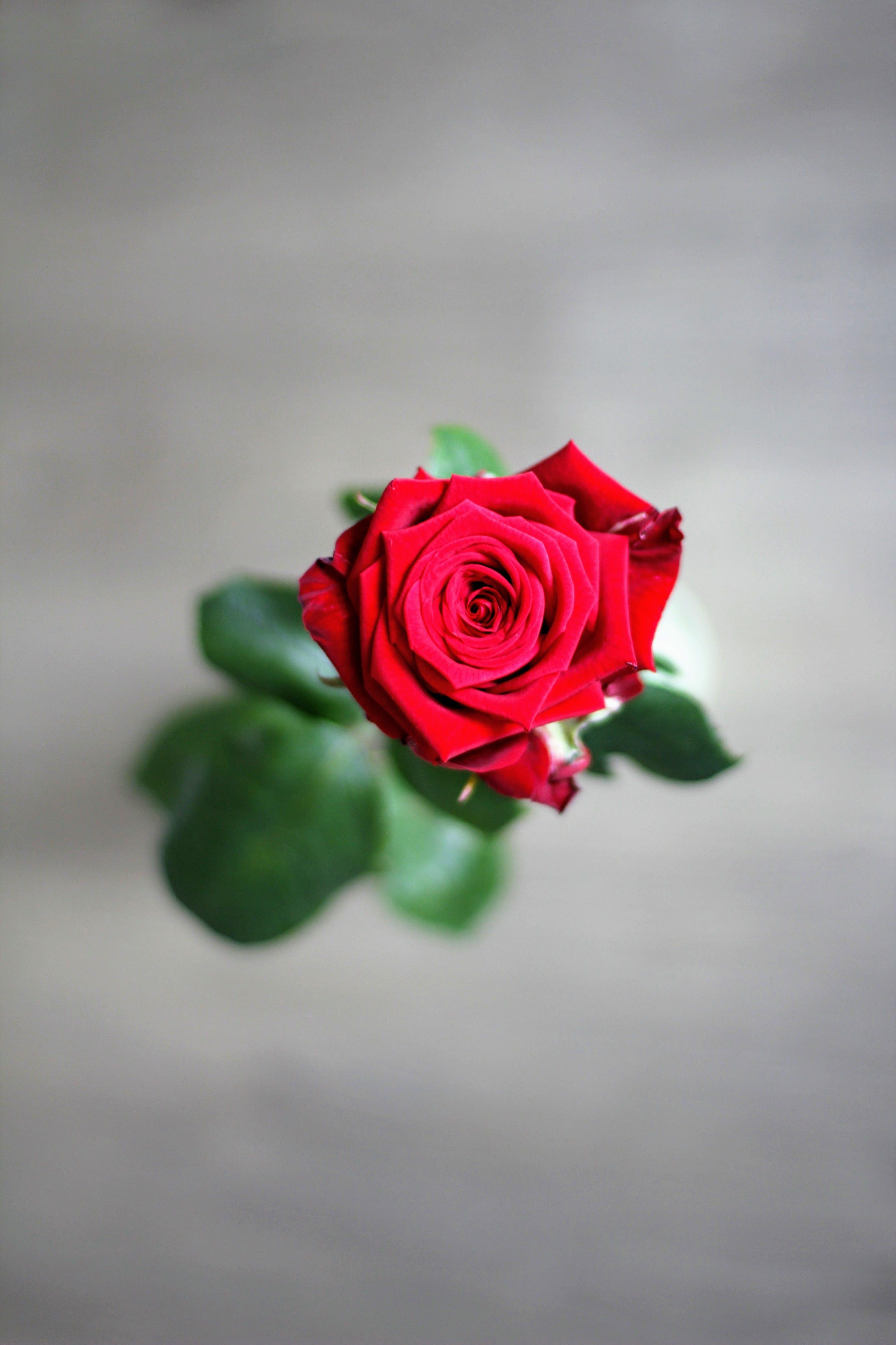 フローラ, ロマンス, ロマンチック, ローズの無料の写真素材
