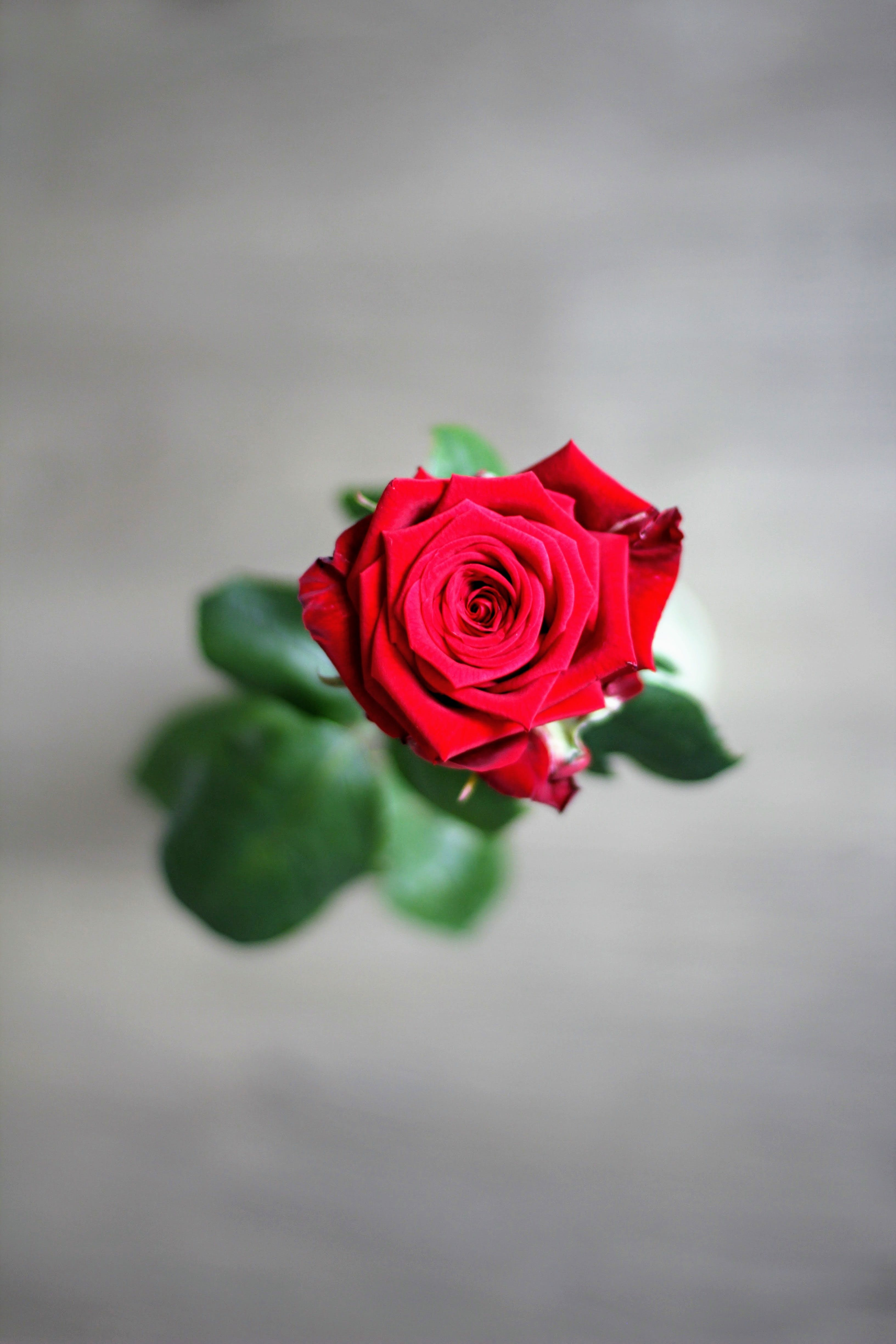 Free stock photo of red, romantic, petals, flower