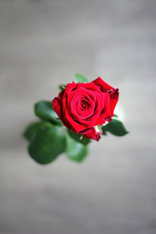 Ilmainen kuvapankkikuva tunnisteilla kasvikunta, kukinta, kukka, punainen