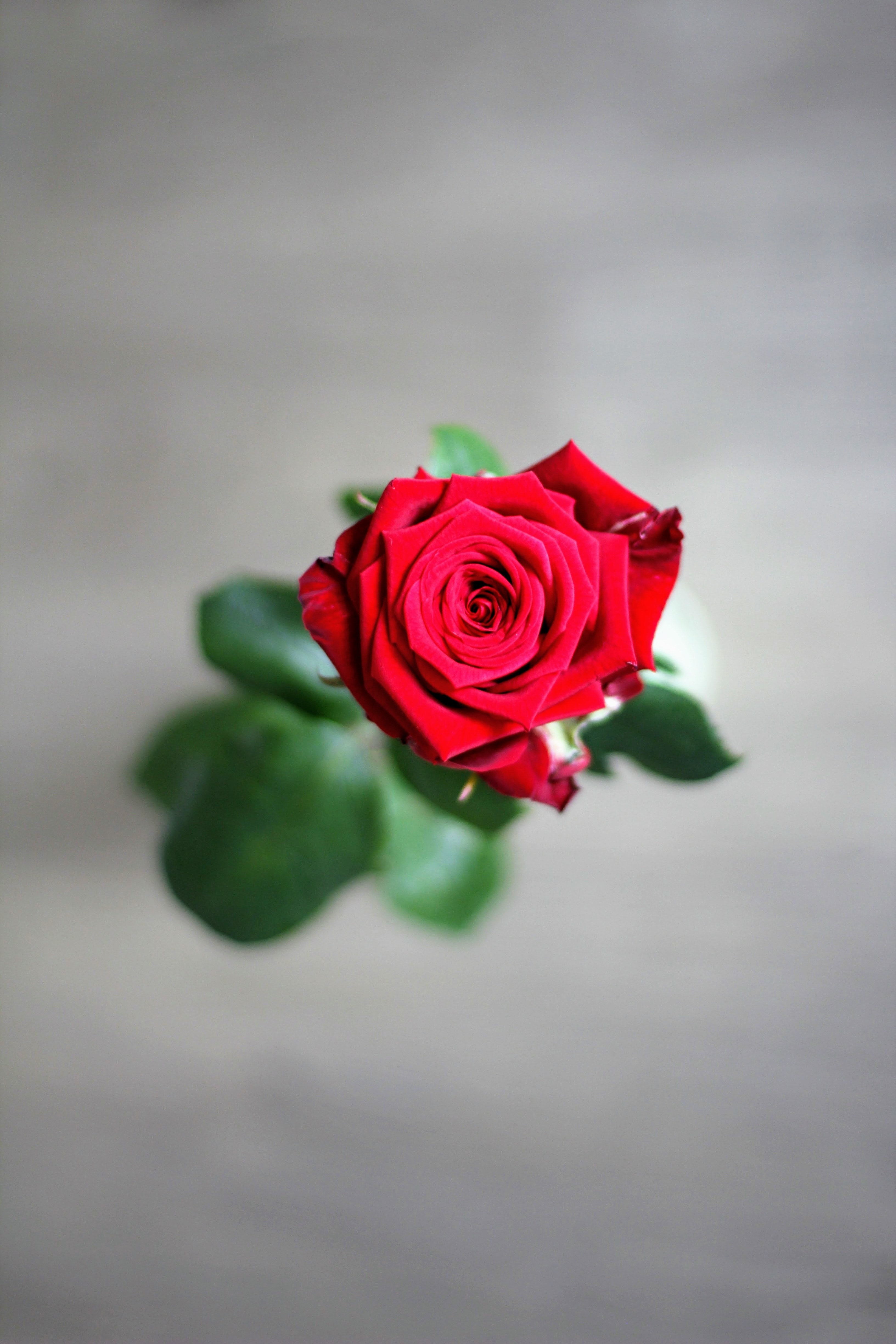pink rose free stock photo