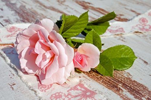 꽃, 꽃이 피는, 꽃잎, 분홍색 장미의 무료 스톡 사진
