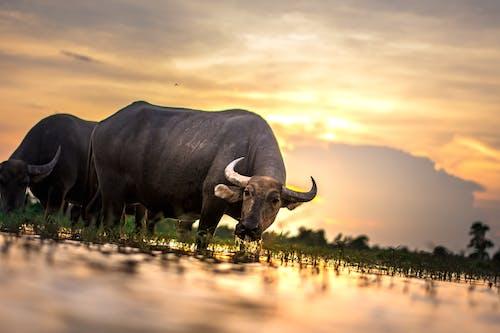 Ảnh lưu trữ miễn phí về ánh sáng ban ngày, bắp chân, bò, burma