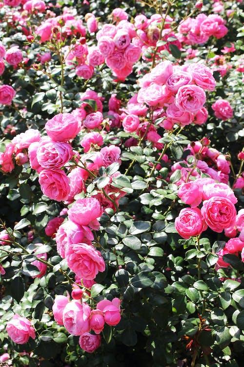Foto profissional grátis de cor-de-rosa, fleur, fleurs, flor do jardim
