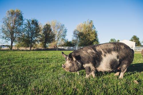 Pig with black fur on skin standing on bright green grassland behind fence under blue sky