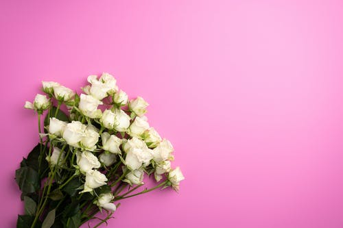Blooming white rose bouquet on pink background
