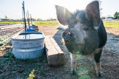 Muzzle of pig on dry terrain in sunlight