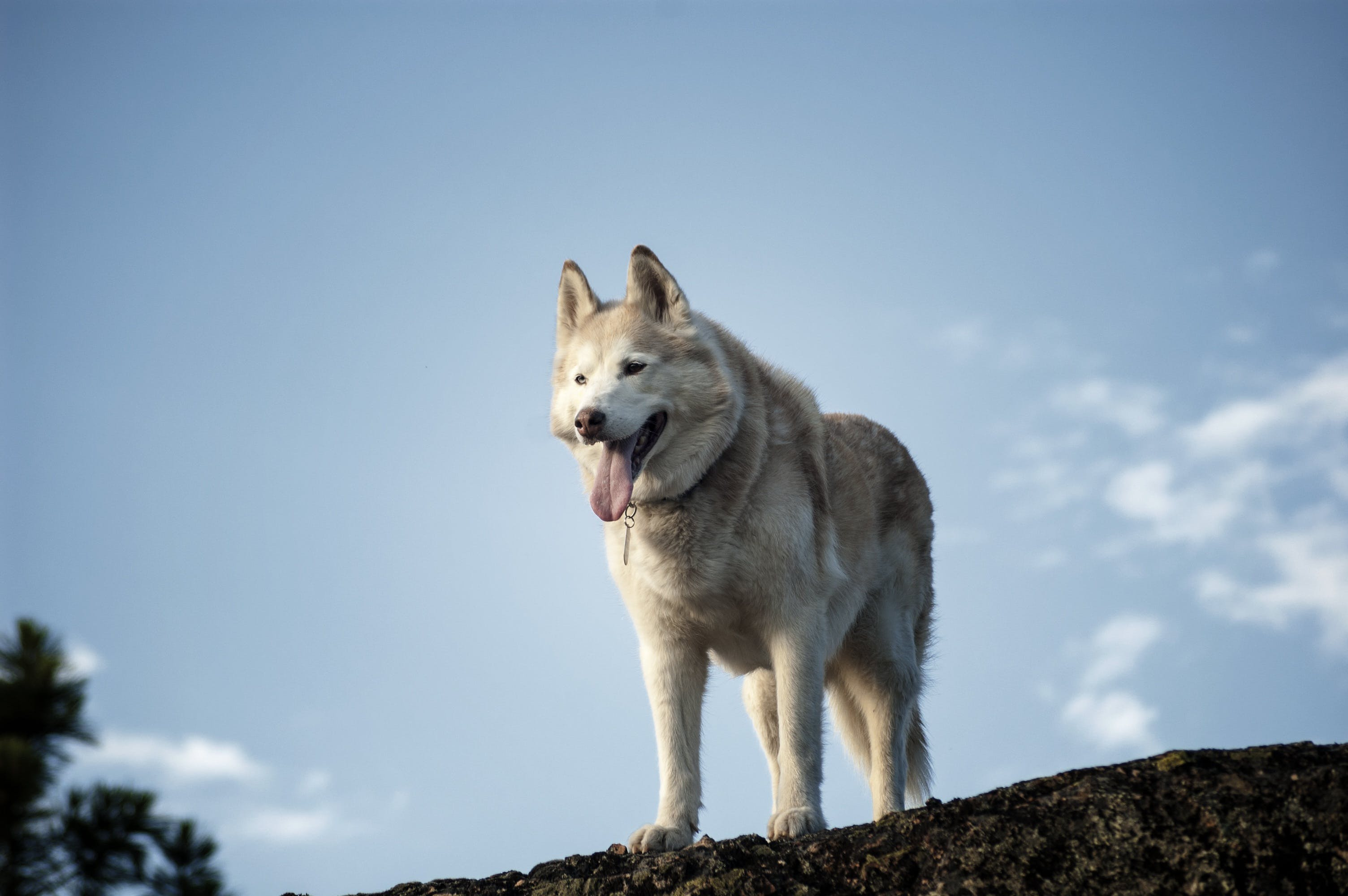 Adult Brown and White Siberian Husky Standing on Rock