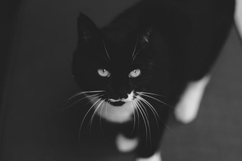 Attentive black and white cat with long whiskers