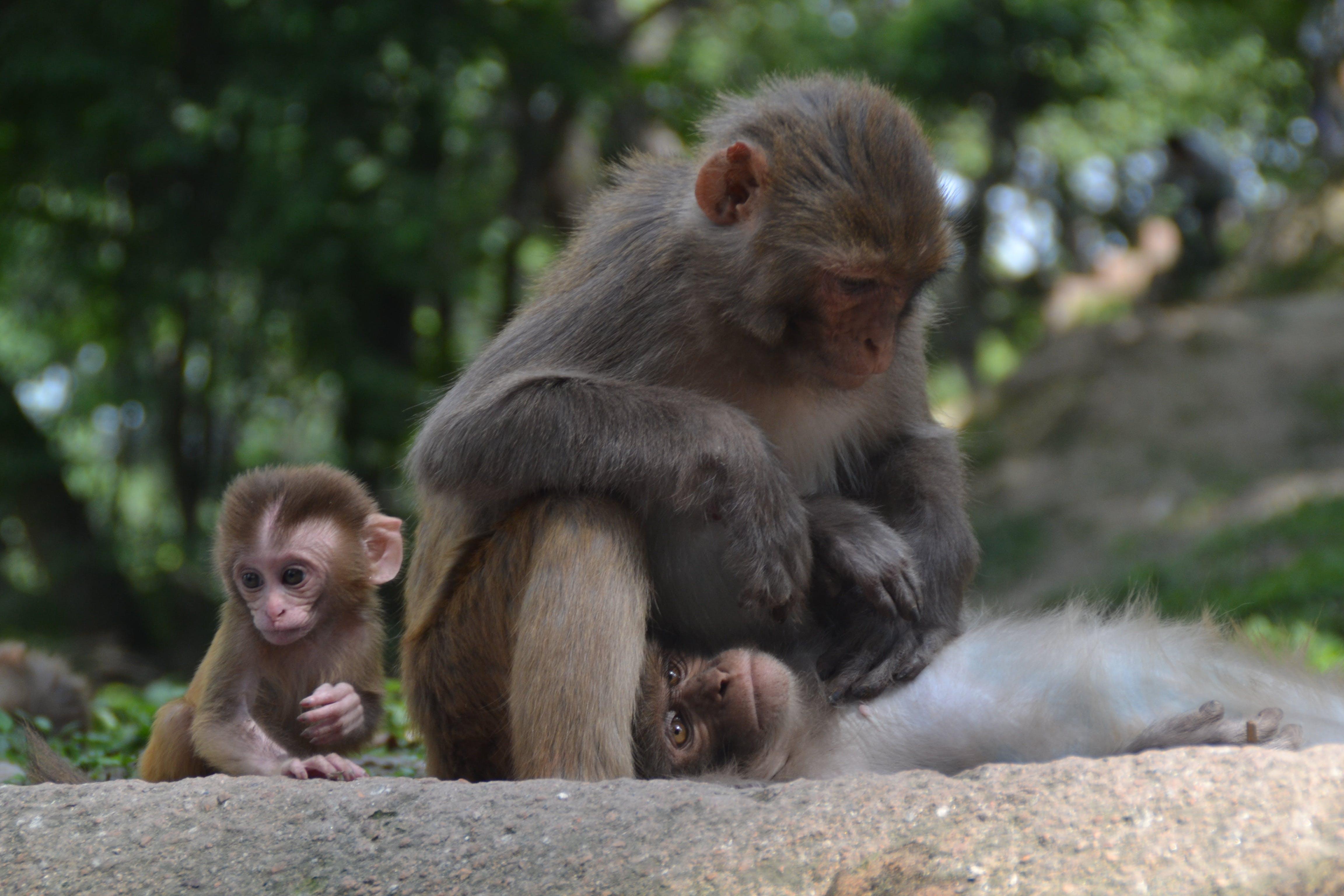 Free stock photo of delouse, holy monkeys, monkey baby, monkey child