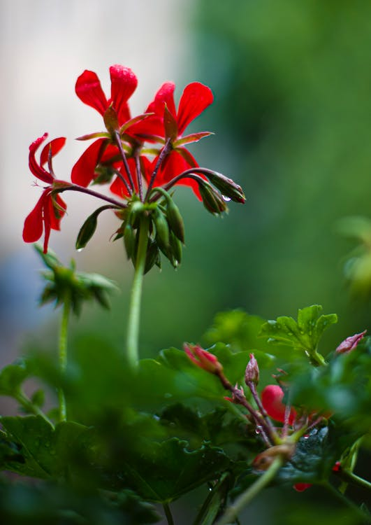 Blooming red geranium flower in garden