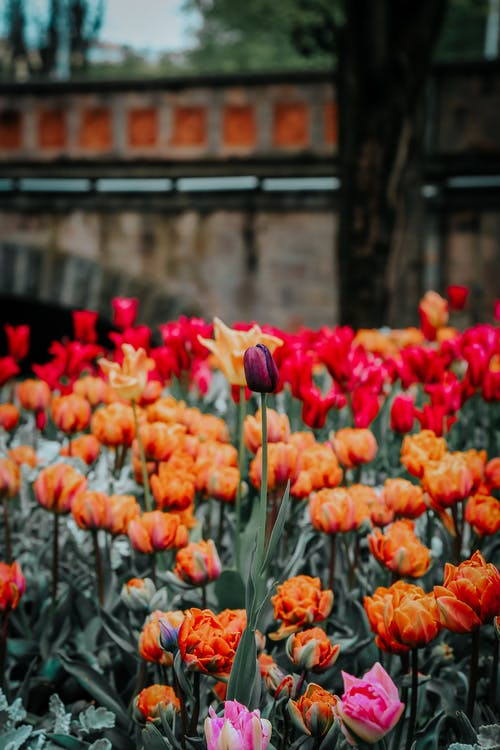 Multicolored tulips growing on city square