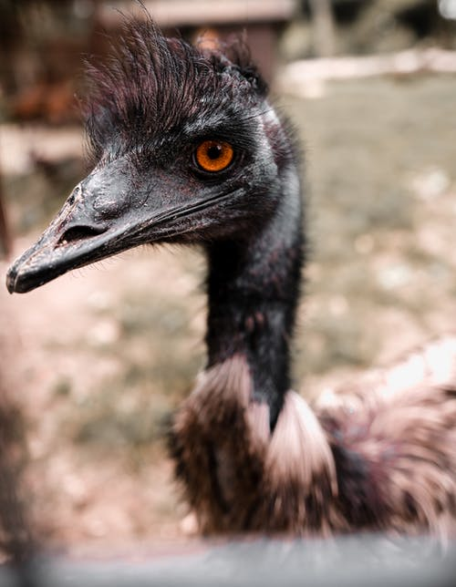 Dromaius novaehollandiae bird in zoo in daytime