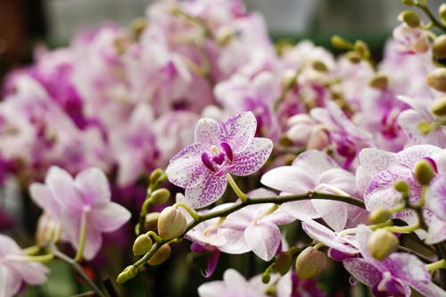 Amazing pink and purple flowers of orchid growing on blurred branches with small yellow buds