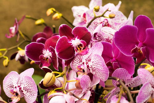 Tender pink and white orchid big blooming flowers
