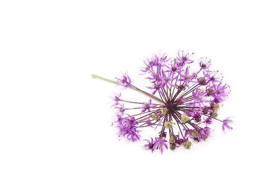 Free stock photo of allium, allium flower, allium flower head, allium flower on the white background