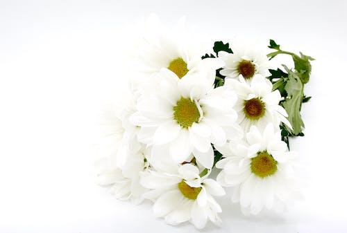 Free stock photo of daisies, daisies flowers, flowers on the background, flowers on the white background