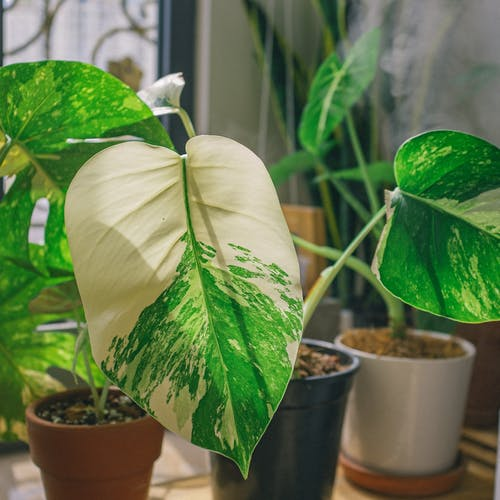 Big leaves of fresh green potted plant