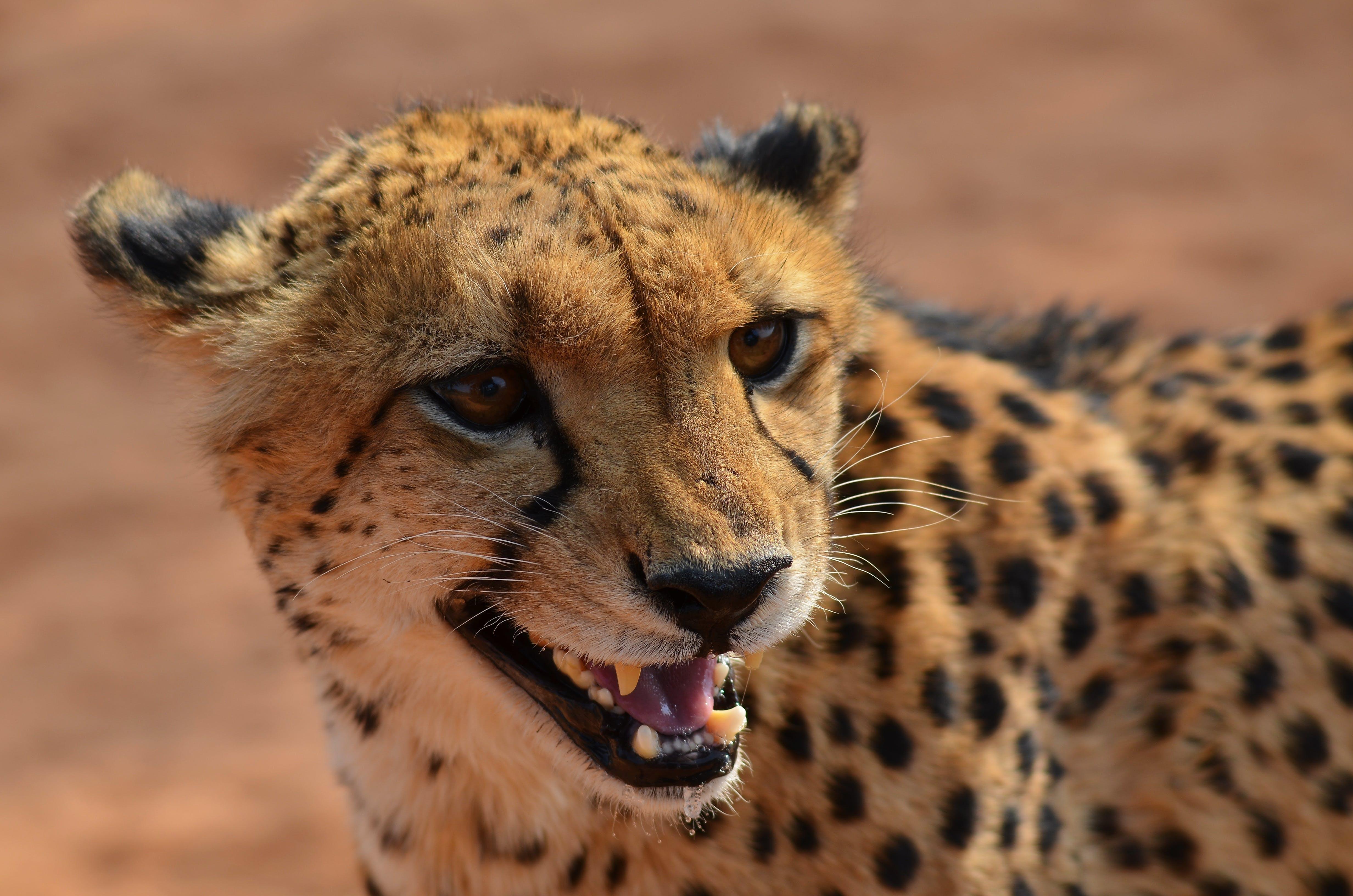 Free stock photo of africa, animal, big cat, cheetah