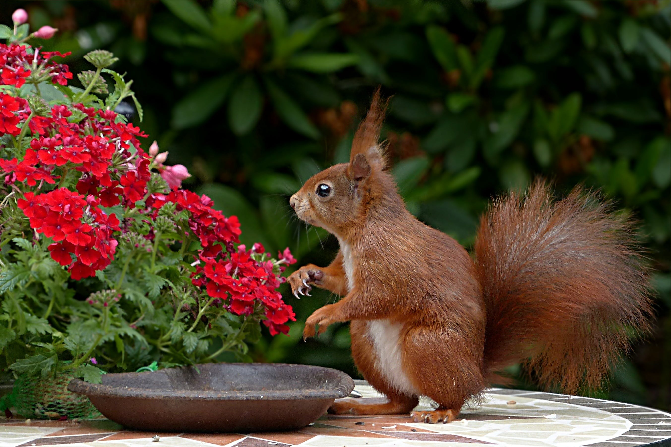 Red Squirrel on Brown Table Top