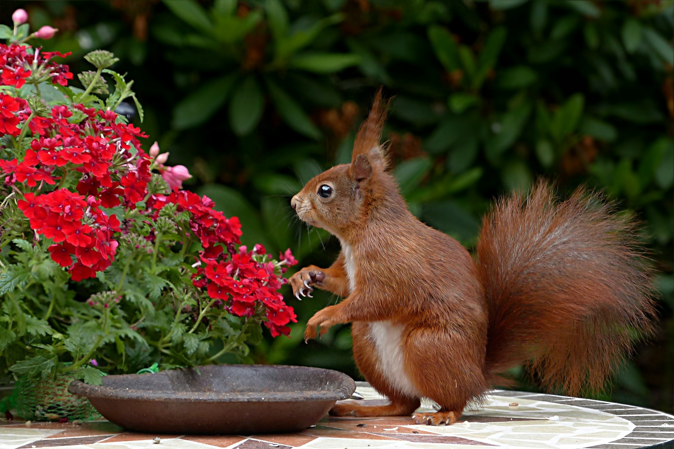 Red Squirrel on Brown Table Top by Pixabay
