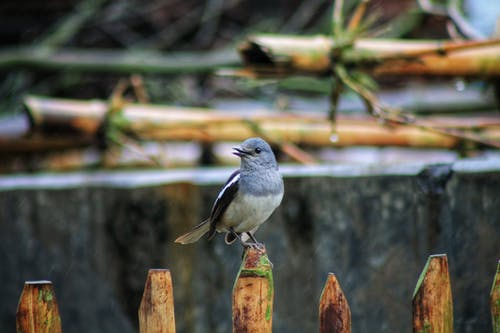 Small gray magpie robin bird on wooden fence