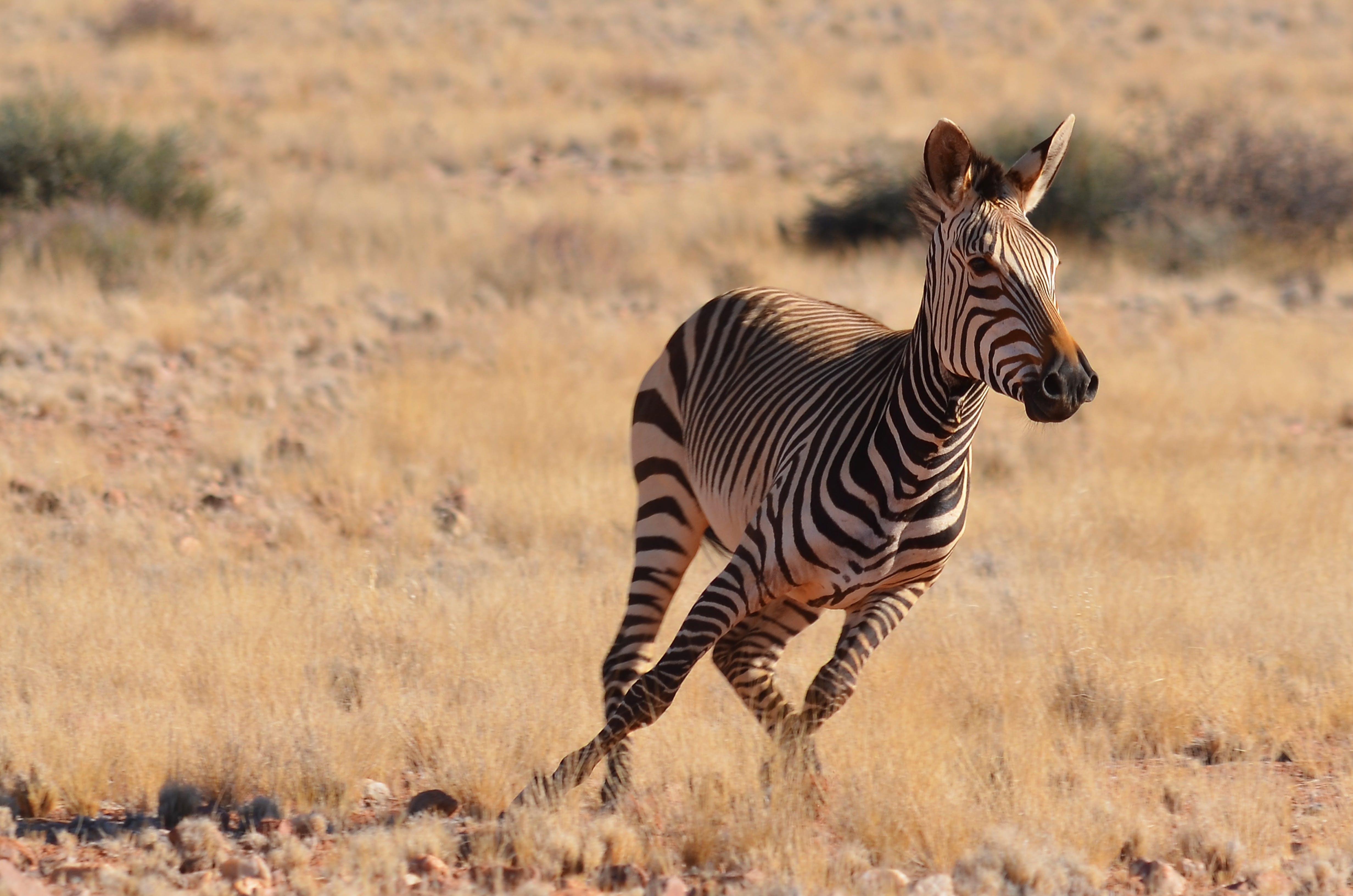 Free stock photo of animal, africa, zebra, wild animal