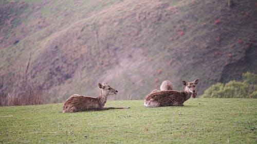 Wild deer resting on grassy meadow