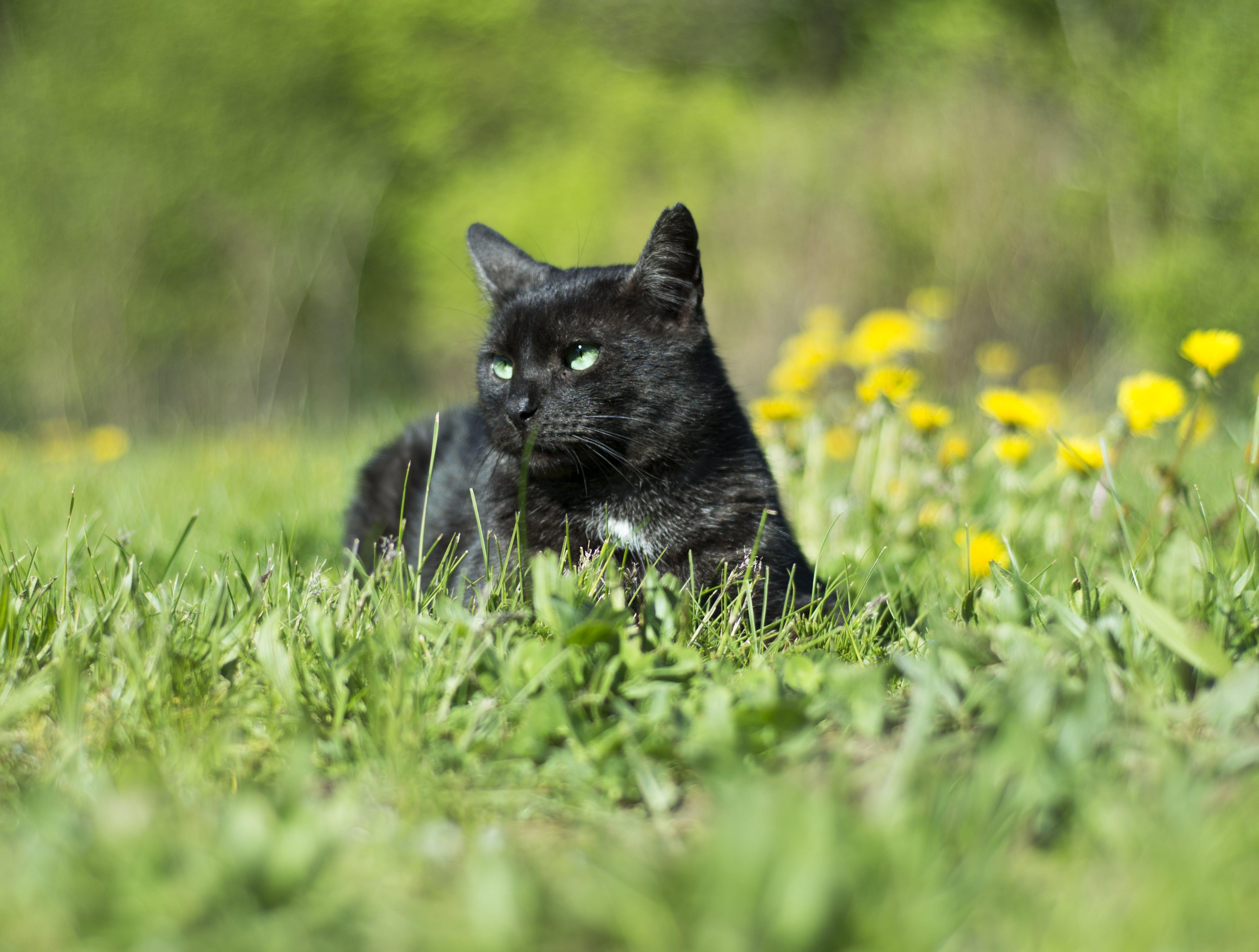 Free stock photo of animals, black, cat, charming
