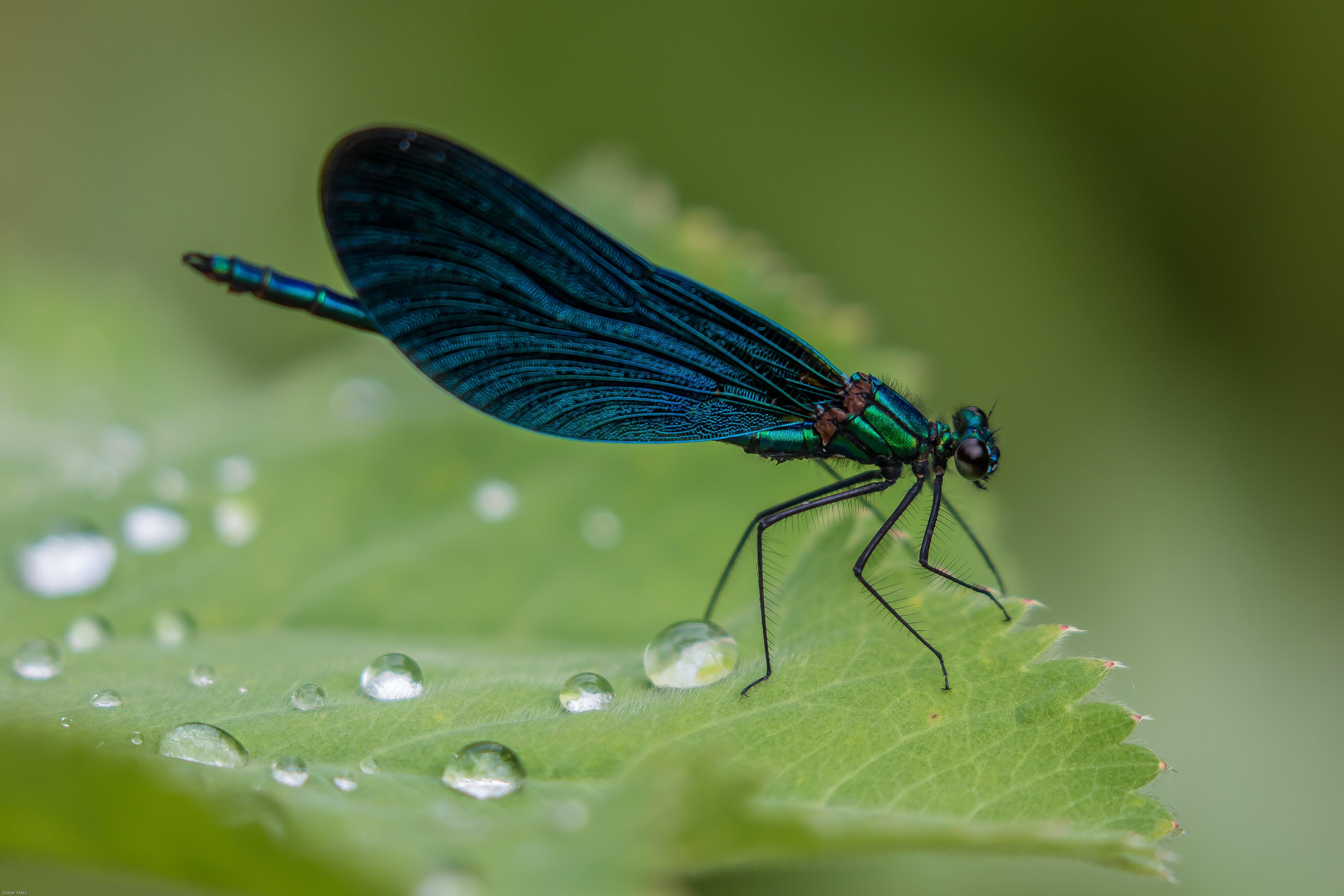 Kostenloses Stock Foto zu biologie, blau, flügel, insekt