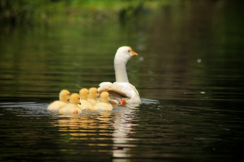 White mother goose with small cute goslings swimming on tranquil lake in summer park
