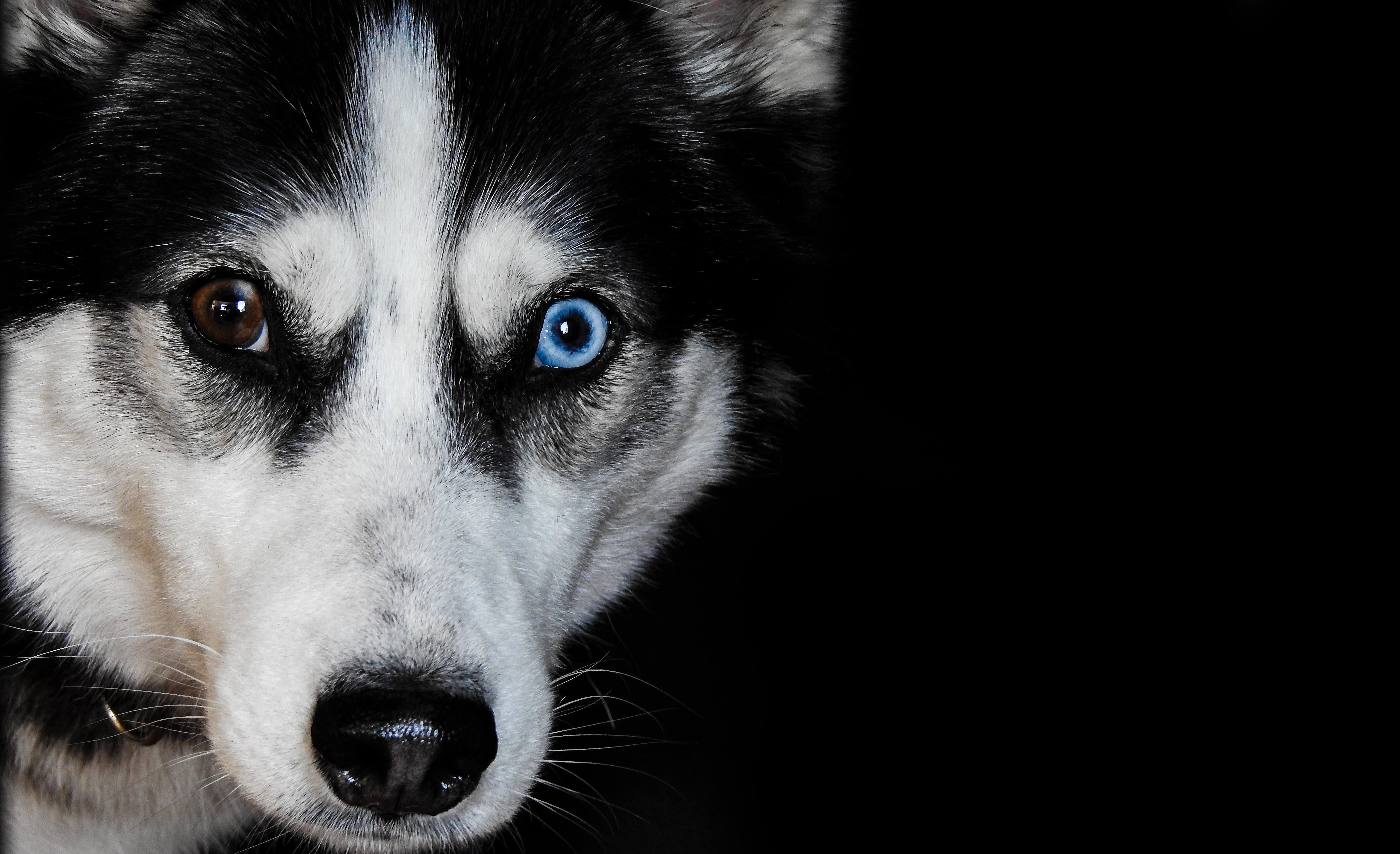 Closeup Photography of Black Siberian Husky